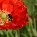 bombus lucorum on poppy