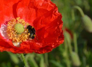 bombus lucorum on poppy