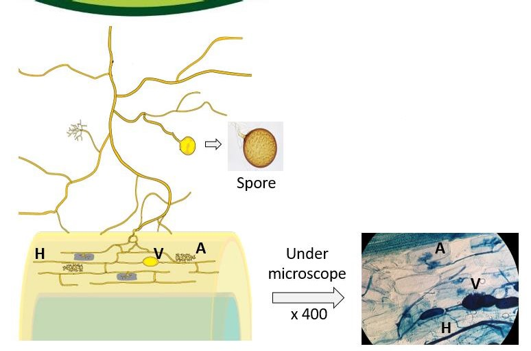 left: diagram showing the fungal and root interaction: a) an arbuscule  (nutrient exchange site)