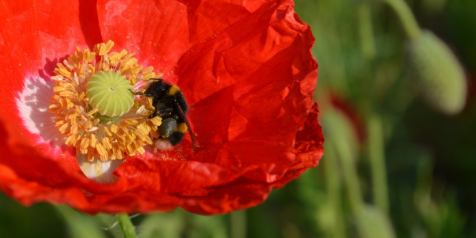 Biodiversity net gain update - bee on a flower