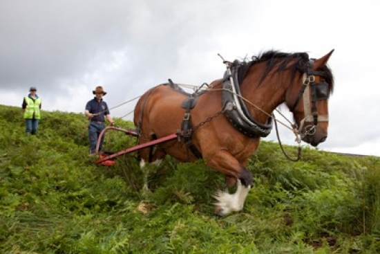 Traditional method of controlling bracken