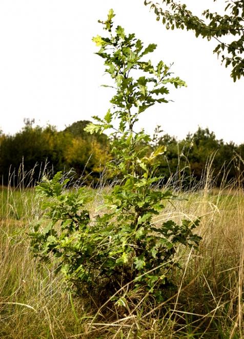 A newly planted oak tree